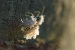 雪虫の綿毛