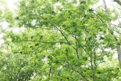 雪虫がたくさんすむヤチダモの木。葉がくしゃっと丸まっているところにすんでいる。葉のうらから樹液を吸うので、葉がこんなふうになる。